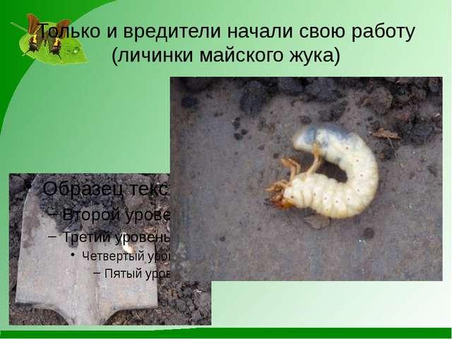 Только и вредители начали свою работу (личинки майского жука)