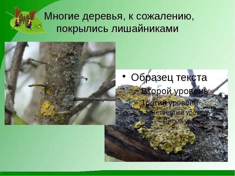 Многие деревья, к сожалению, покрылись лишайниками