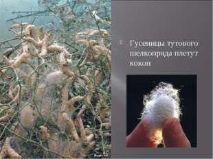Гусеницы тутового шелкопряда плетут кокон