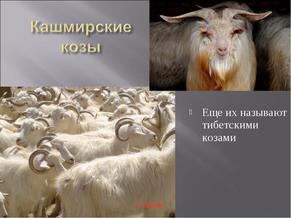 Еще их называют тибетскими козами