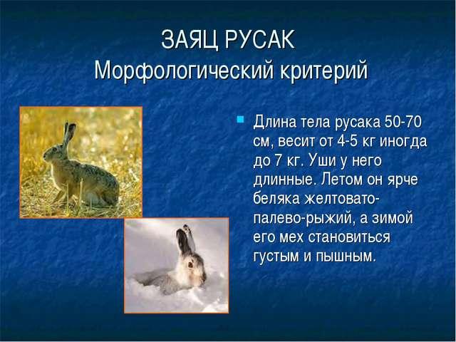 ЗАЯЦ РУСАК Морфологический критерий Длина тела русака 50-70 см, весит от 4-5...