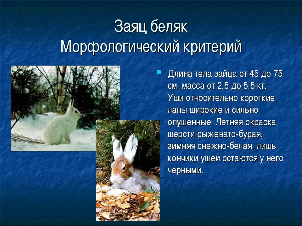 Заяц беляк Морфологический критерий Длина тела зайца от 45 до 75 см, масса от...