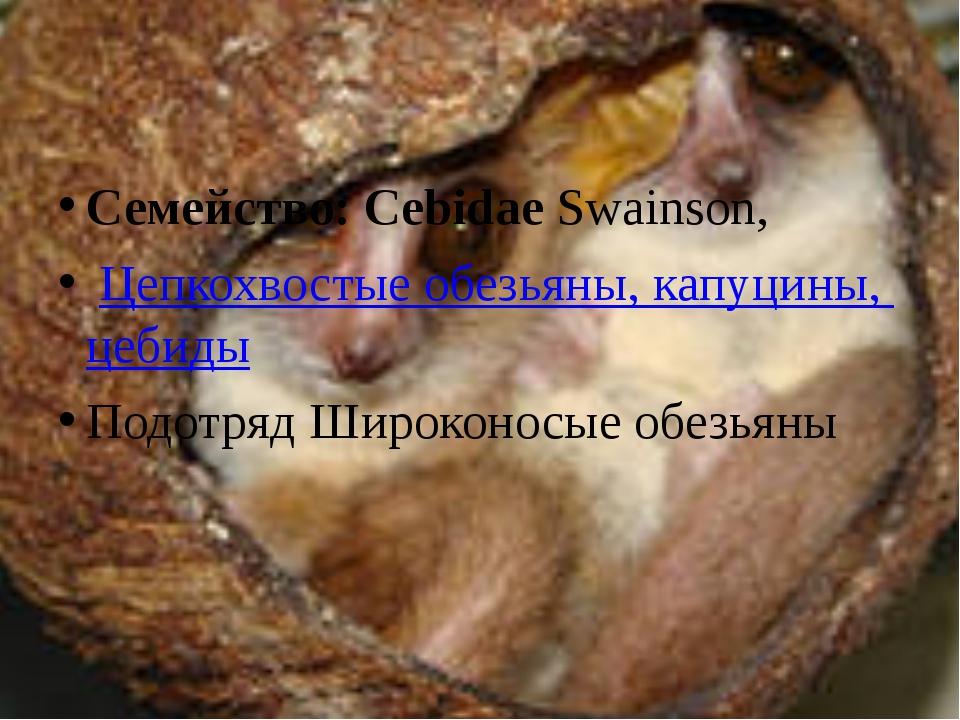 Семейство: CebidaeSwainson, Цепкохвостые обезьяны, капуцины, цебиды Подотря...