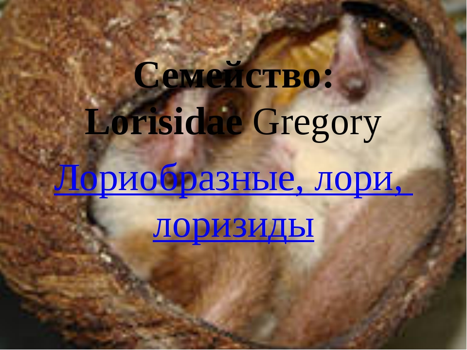 Семейство: LorisidaeGregory Лориобразные, лори, лоризиды