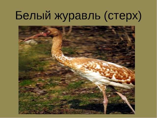 Белый журавль (стерх)