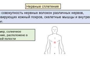 Например, солнечное сплетение, расположено в брюшной полости Нервные сплетени