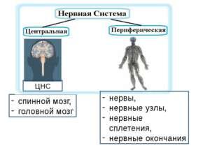 спинной мозг, головной мозг ЦНС нервы, нервные узлы, нервные сплетения, нервн