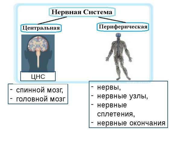 спинной мозг, головной мозг ЦНС нервы, нервные узлы, нервные сплетения, нервн...