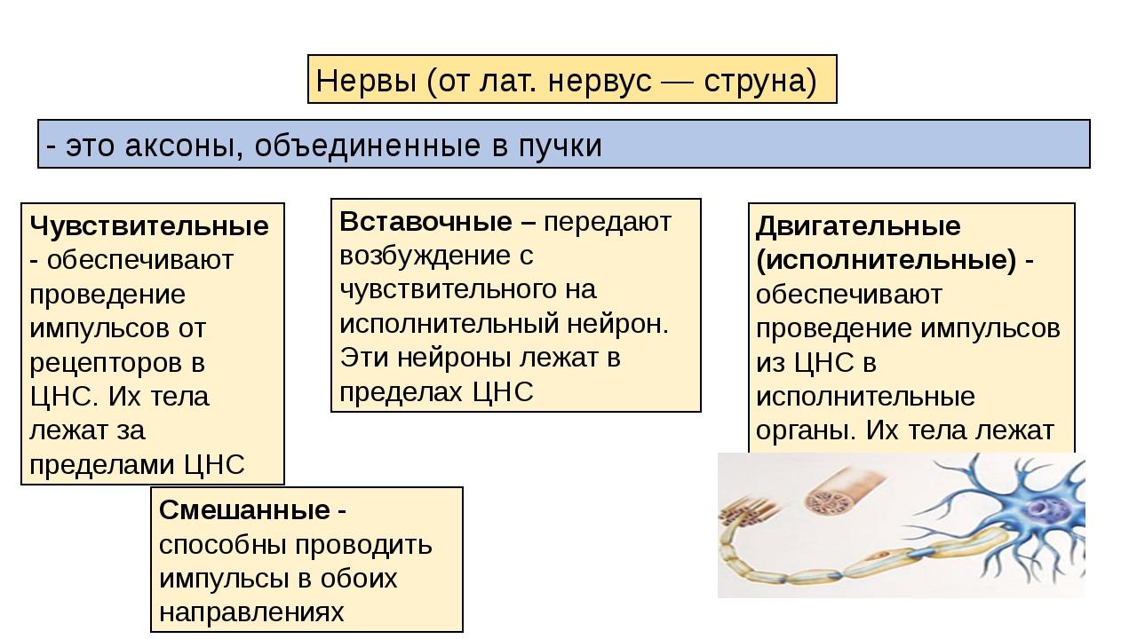 Смешанные - способны проводить импульсы в обоих направлениях Нервы (от лат. н...