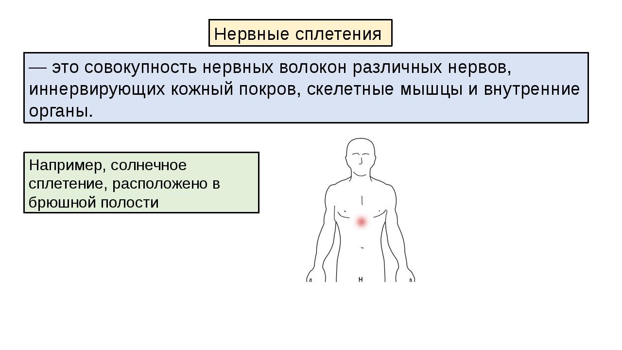 Например, солнечное сплетение, расположено в брюшной полости Нервные сплетени...