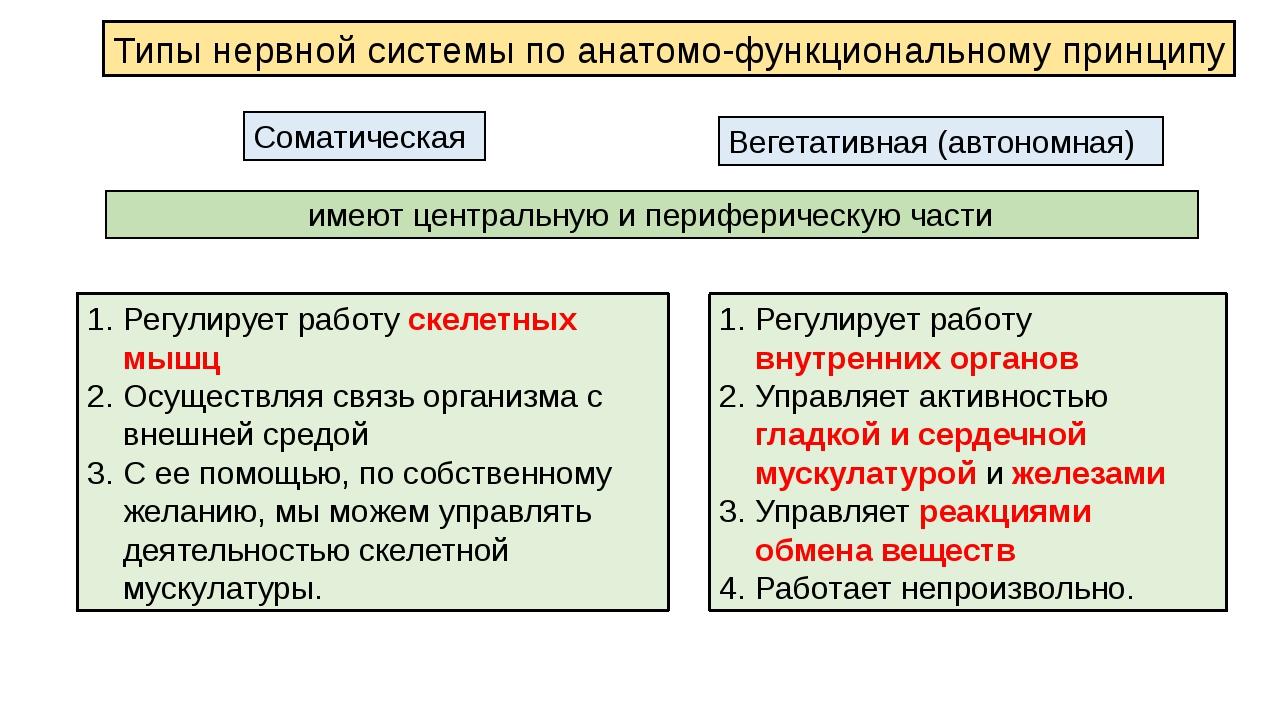 Типы нервной системы по анатомо-функциональному принципу Соматическая Вегетат...