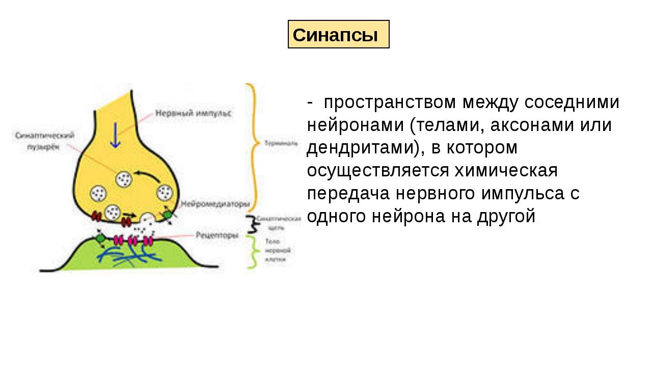 - пространством между соседними нейронами (телами, аксонами или дендритами),...