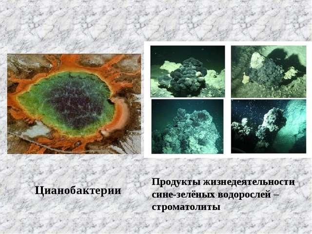 Цианобактерии Продукты жизнедеятельности сине-зелёных водорослей –строматолиты