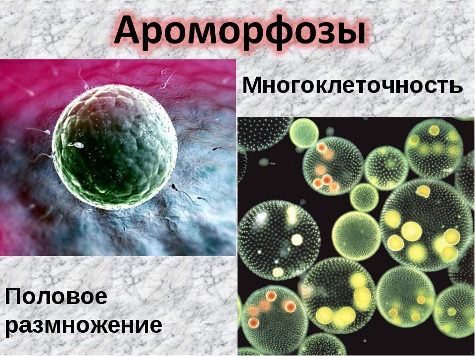Половое размножение Многоклеточность