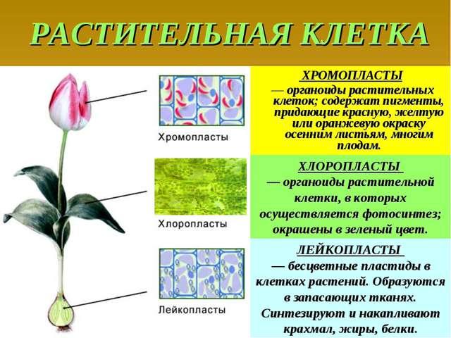 РАСТИТЕЛЬНАЯ КЛЕТКА ХРОМОПЛАСТЫ — органоиды растительных клеток; содержат пиг...