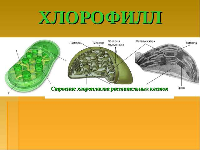 ХЛОРОФИЛЛ Строение хлоропласта растительных клеток