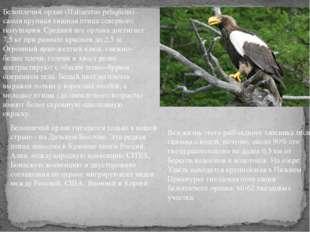 Белоплечий орлан (Haliaeetus pelagicus)– самая крупная хищная птица северного