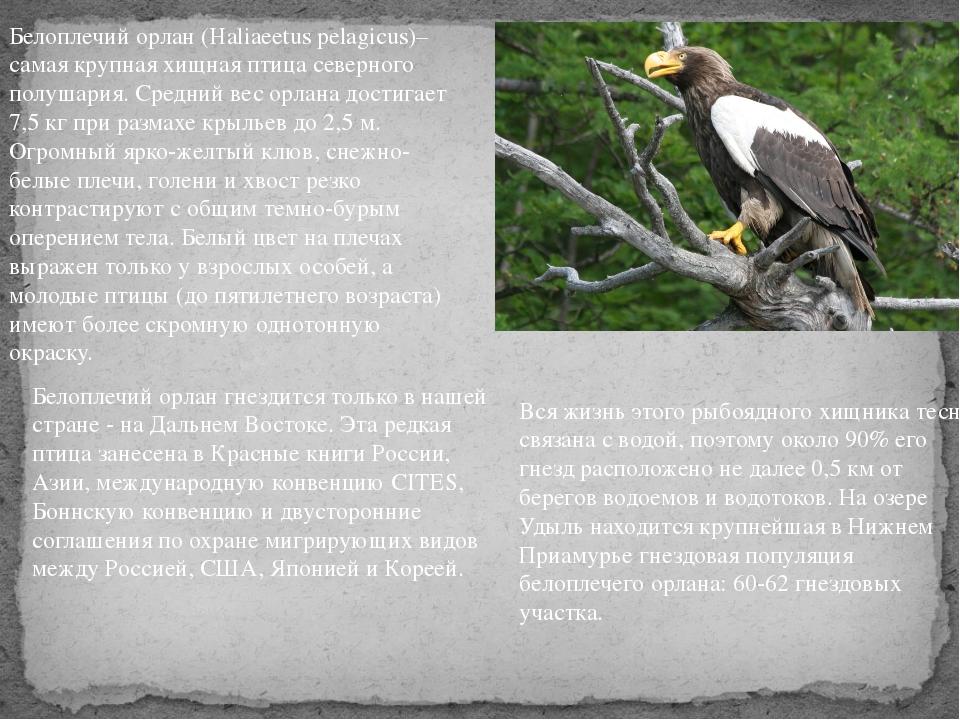 Белоплечий орлан (Haliaeetus pelagicus)– самая крупная хищная птица северного...