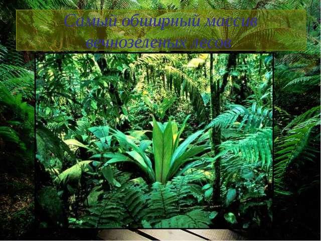 Самый обширный массив вечнозеленых лесов
