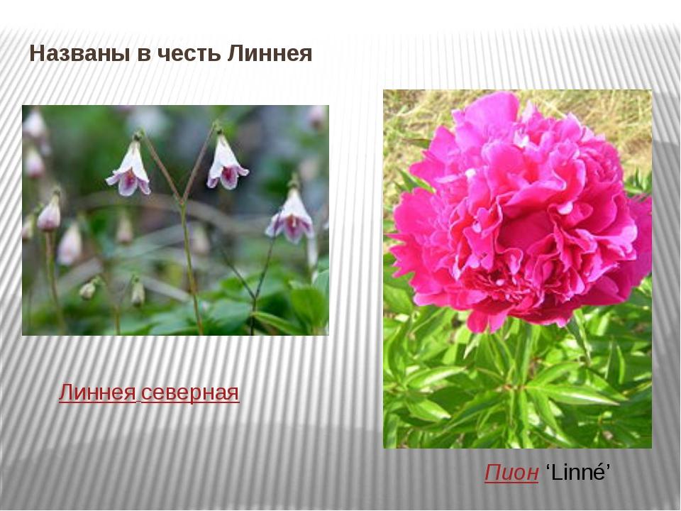 Названы в честь Линнея Линнея северная Пион 'Linné'