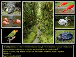 В субтропиках, на юго-востоке материка, наряду с животными, общими с подзон