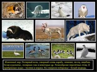 Животный мир. Полярный волк, северный олень карибу, лемминг, песец, овцебык