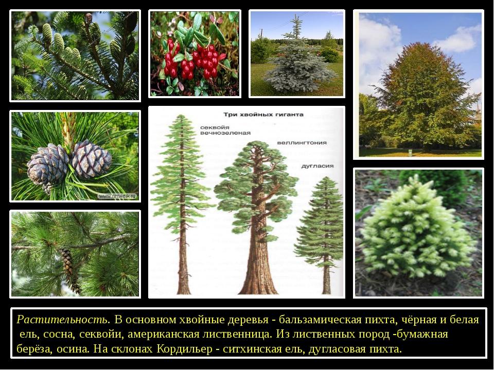 Растительность. В основном хвойные деревья - бальзамическая пихта, чёрная и...