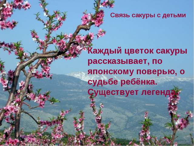 Каждый цветок сакуры рассказывает, по японскому поверью, о судьбе ребёнка. Су...