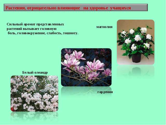 Белый олеандр магнолия гардения Сильный аромат представленных растений вызыва...