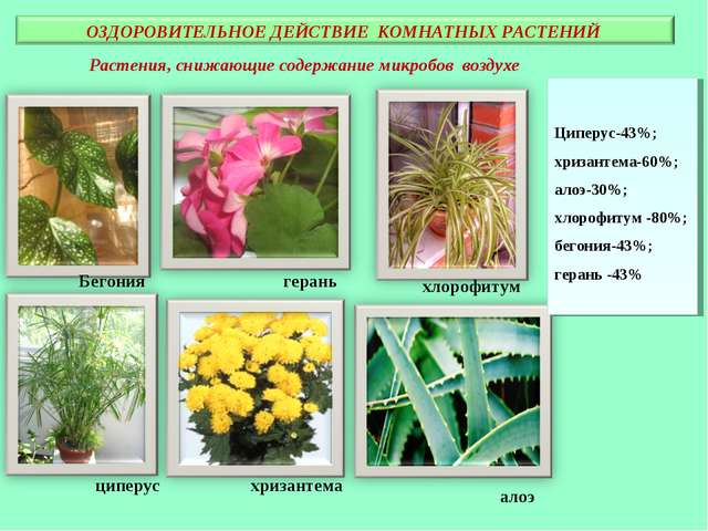 Растения, снижающие содержание микробов воздухе Бегония герань циперус хризан...