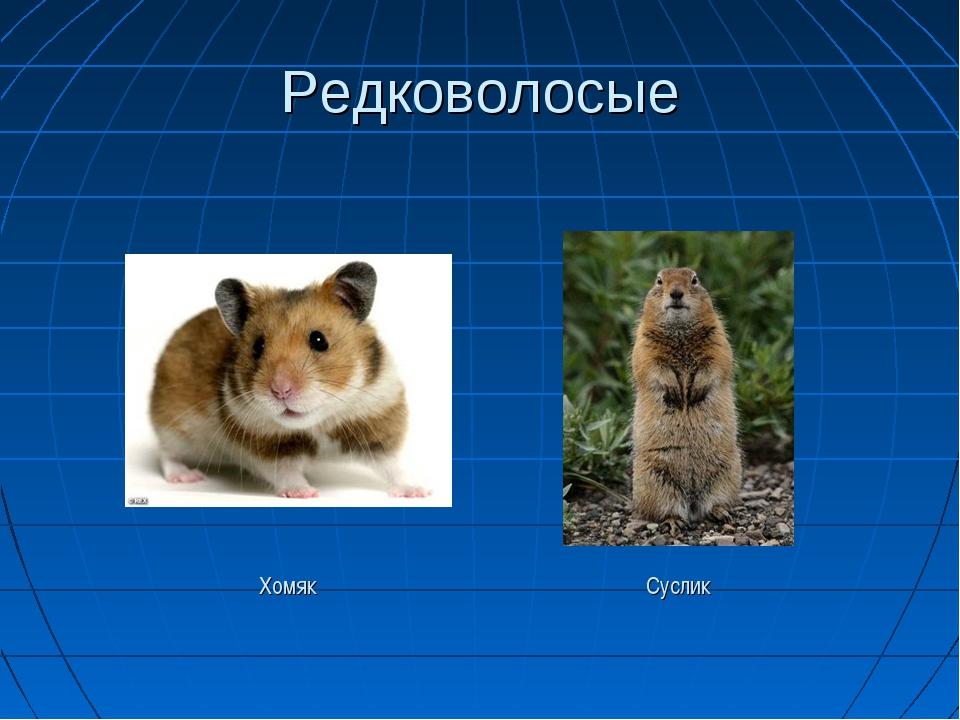 Редковолосые Хомяк Суслик