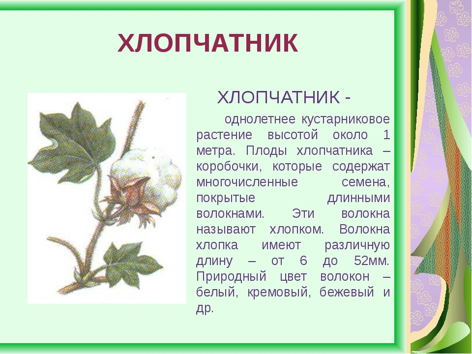 ХЛОПЧАТНИК ХЛОПЧАТНИК - однолетнее кустарниковое растение высотой около 1 ме...