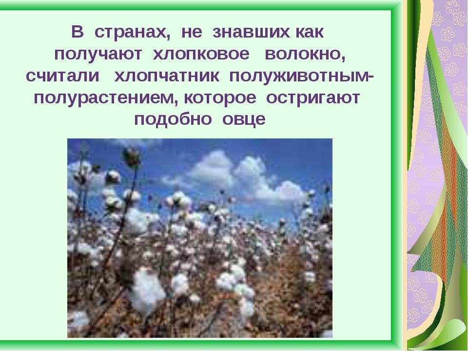 В странах, не знавших как получают хлопковое волокно, считали хлопчатник полу...