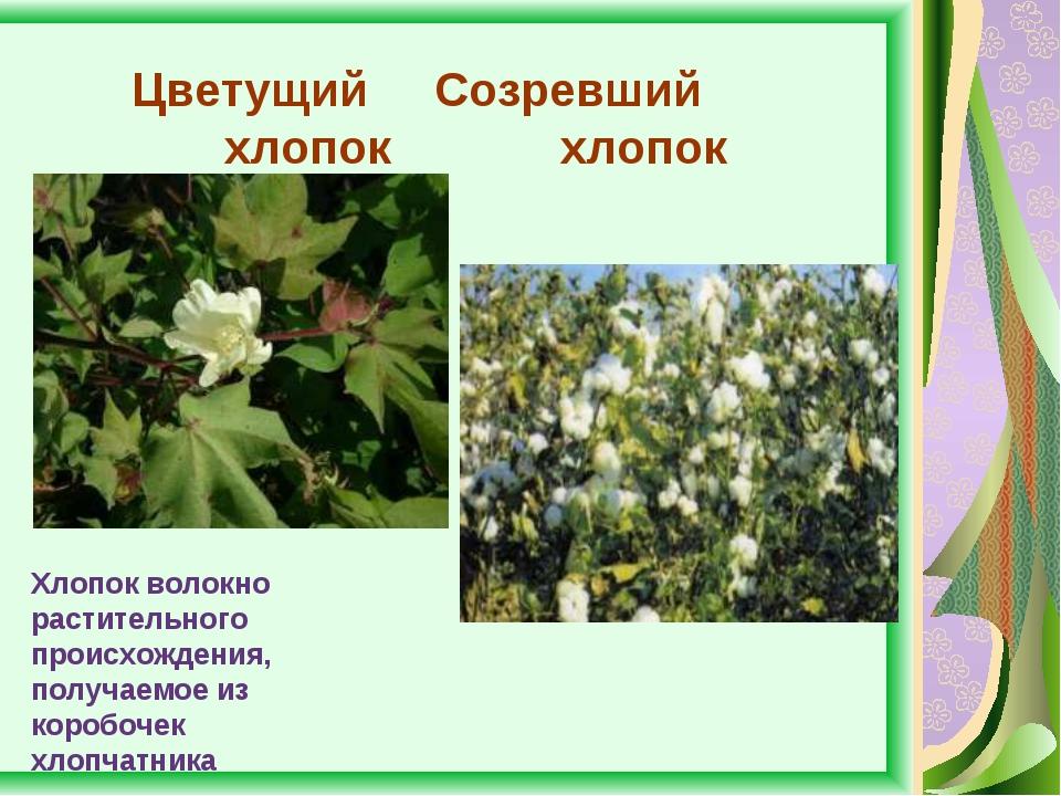 Цветущий Созревший хлопок хлопок Хлопок волокно растительного происхождения,...