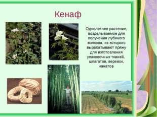 Кенаф Однолетнее растение, возделываемое для получения лубяного волокна, из к
