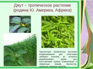 Джут – тропическое растение (родина Ю. Америка, Африка) Однолетние тропическо