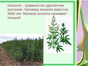 Конопля – травянистое однолетнее растение. Человеку конопля известна 3500 лет