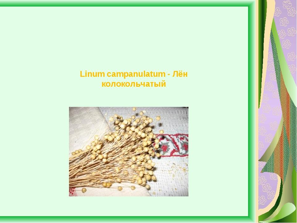 Linum campanulatum - Лён колокольчатый