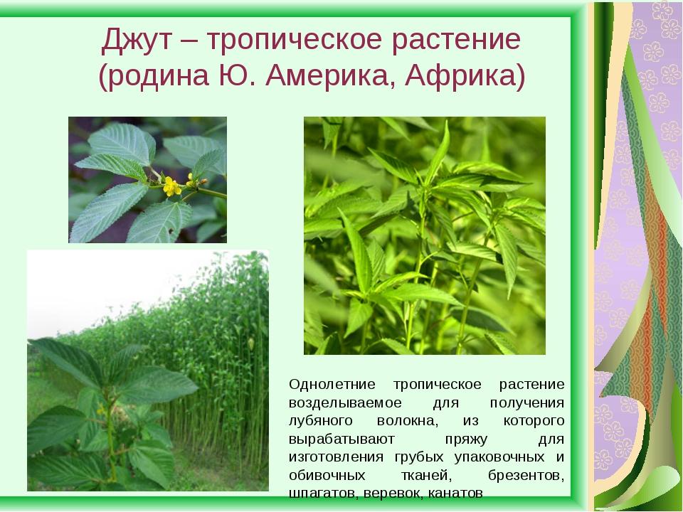 Джут – тропическое растение (родина Ю. Америка, Африка) Однолетние тропическо...