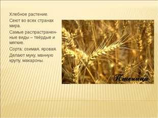 Хлебное растение. Сеют во всех странах мира. Самые распрастранен-ные виды – т