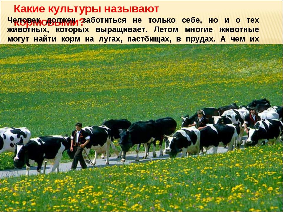 Какие культуры называют кормовыми? Человек должен заботиться не только себе,...