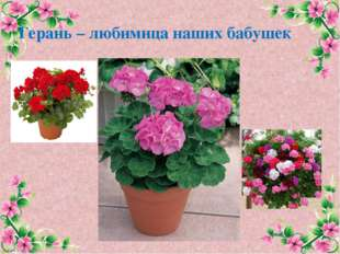 Герань – любимица наших бабушек FokinaLida.75@mail.ru