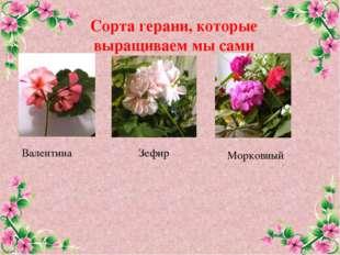 Сорта герани, которые выращиваем мы сами Валентина Зефир Морковный FokinaLida