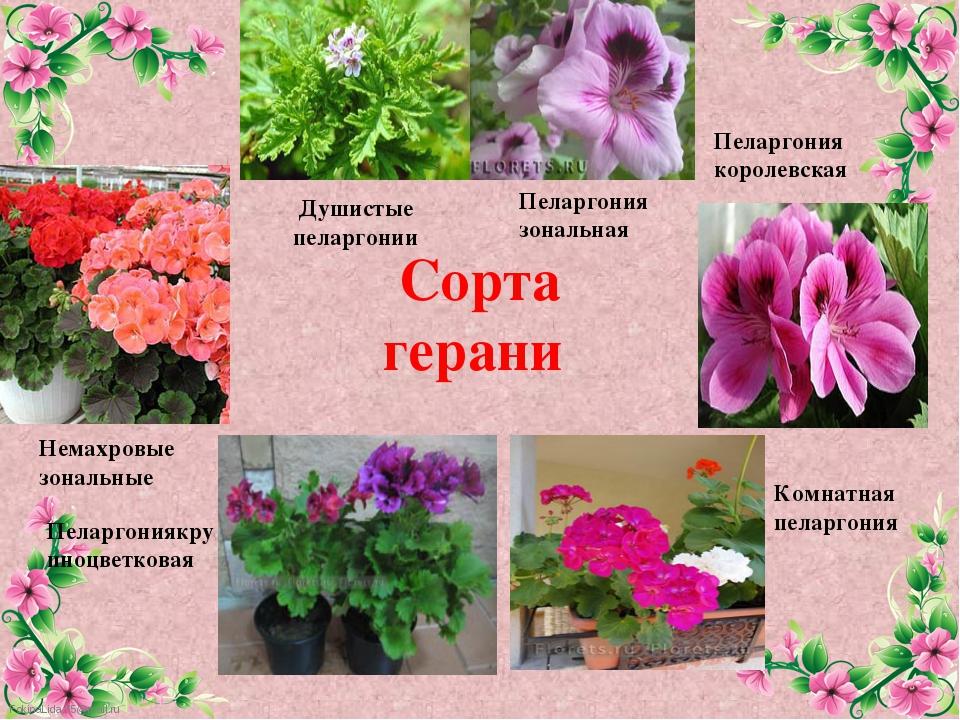 Сорта герани  Немахровые зональные Душистые пеларгонии Пеларгониякрупноцв...