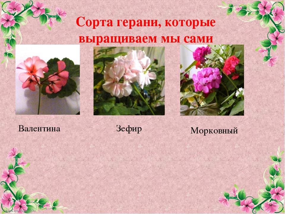 Сорта герани, которые выращиваем мы сами Валентина Зефир Морковный FokinaLida...