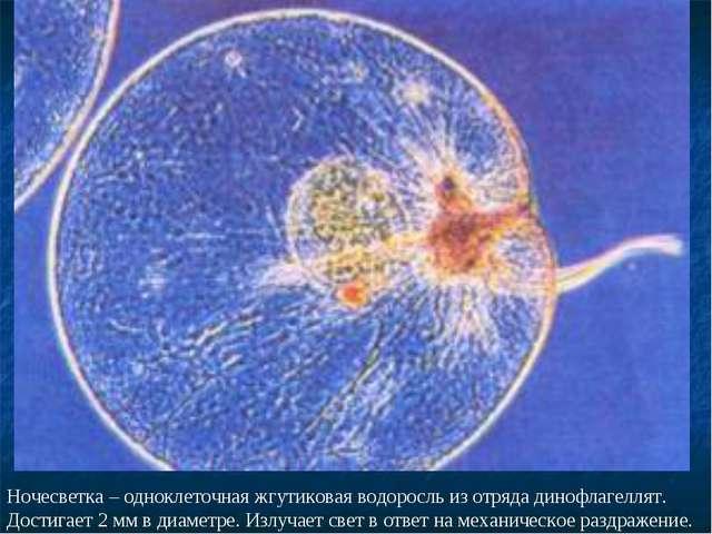 Ночесветка – одноклеточная жгутиковая водоросль из отряда динофлагеллят. Дост...