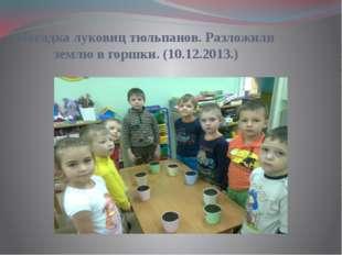Посадка луковиц тюльпанов. Разложили землю в горшки. (10.12.2013.)