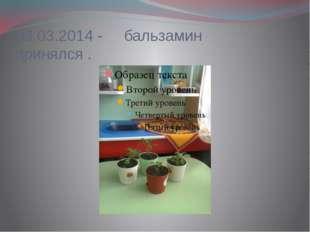 03.03.2014 -     бальзамин    принялся .