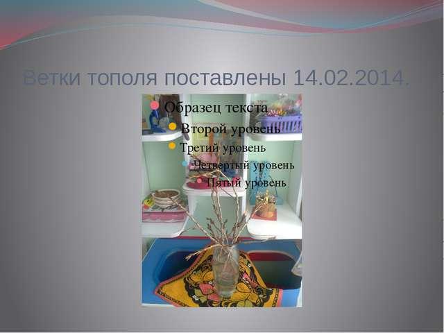 Ветки тополя поставлены 14.02.2014.