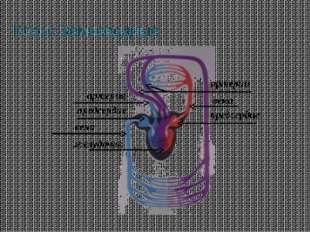 Класс Земноводные желудочек вена предсердие артерия предсердие артерии вена